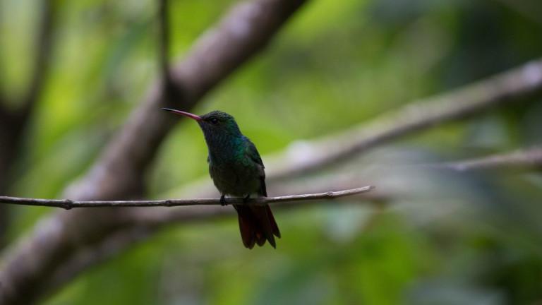 Close,Up,Honduran,Emerald,Hummingbird,,Amazilia,Luciae.,This,Bird,Is